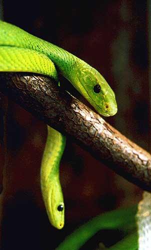 yellow mamba snake - photo #35